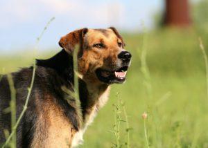 כלב שמירה ביטחון על הבית